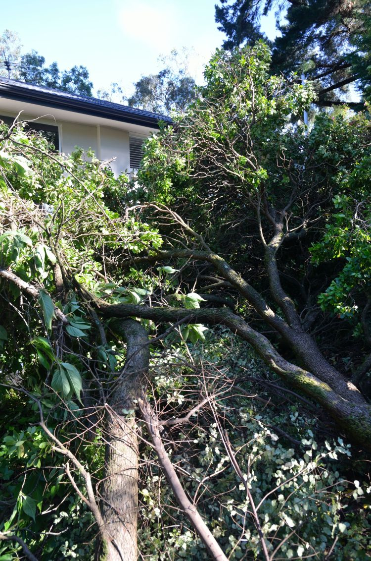 The tree that fell during the storm, narrowly missing our home